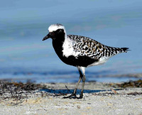 Black Bellied Plover.