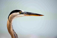 Great Blue Heron, head shot.
