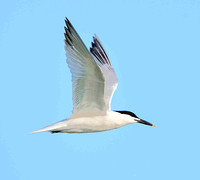 Sandwich Tern flight.