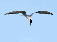 Sandwich Tern ready to dive.