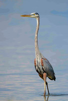 greay Blue Heron