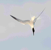 Sandwich Tern in the dive.