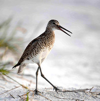 Dowitcher breeding plumage