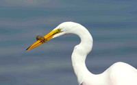 Great White Egret with crab.