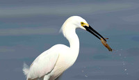 Snowy Egret with crab.