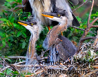 Great Blue Heron Chicks , 3-4 weeks close up . Venice Rookery