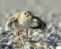 I am mighty.  Black Skimmer chick.