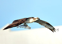 Osprey with fish. Roberts Bay , Fl.