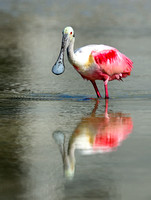 Roseate Spoonbill wading.
